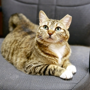 Cora, 5-yr old Brown Tabby, Abandoned at ARF