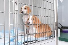 ARF puppies