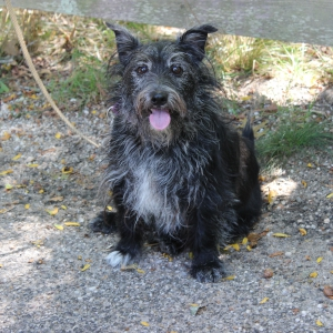 Dino, an 8-year old Terrier, Surrendered to ARF
