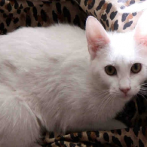 Holly Belle, a 5-year-old Domestic Shorthair, Surrendered to ARF