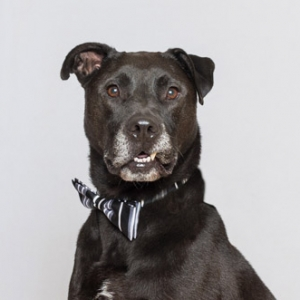 Huck, a 5-year-old Lab Mix Surrendered to ARF