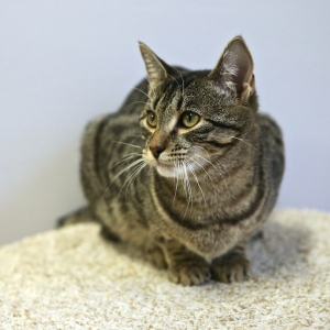 Marion, a 3-year-old Tiger and Black Domestic Shorthair, Rescued through ARF's OpCat Program